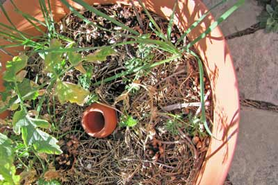 A photo of an olla pot buried in the middle of a flowerpot.