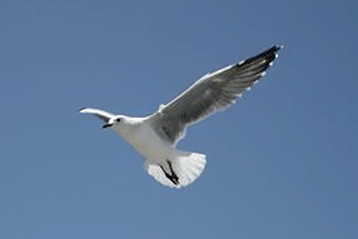 A photographic image of a Seagull.