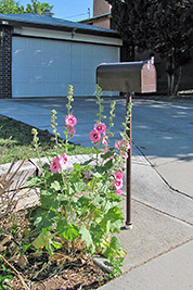 A photographic image of a mailbox with hollyhocks growing beside it.