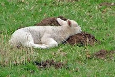 A photographic image of a lamb resting in a pasture.